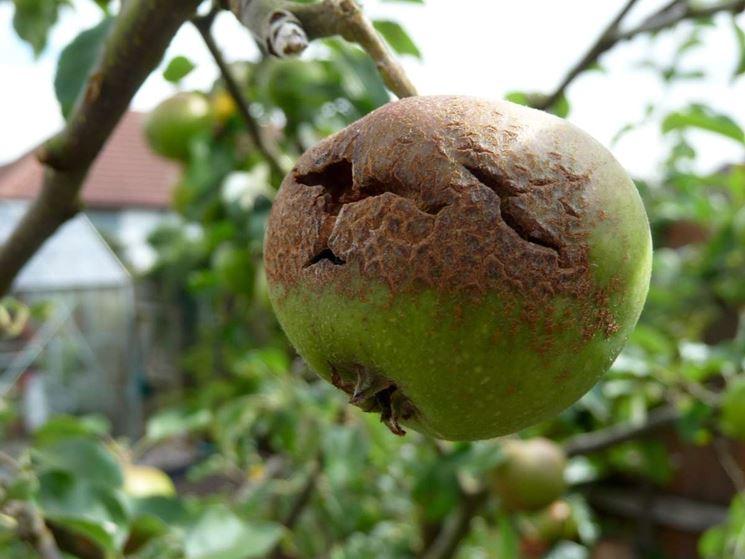 Monilia pianta frutto