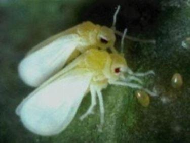 moscabianca1