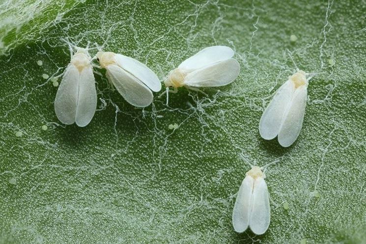 mosca bianca