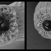 Microscopio nematode
