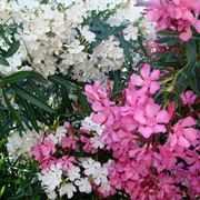 pianta di oleandro