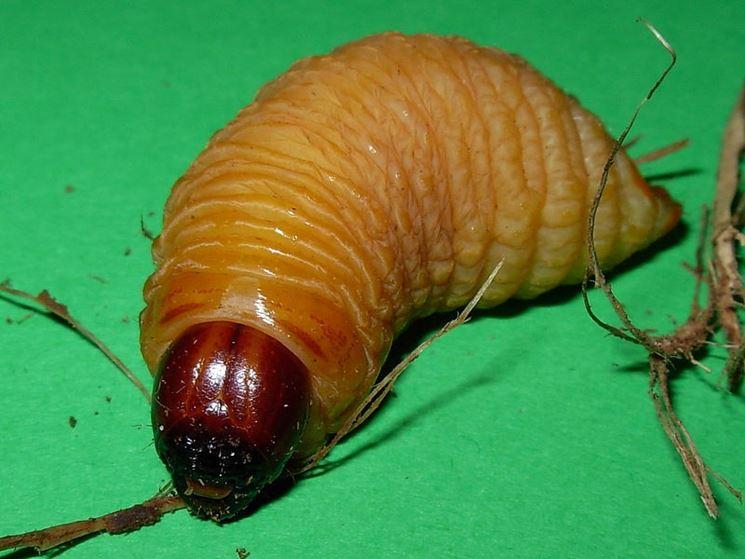Larva punteruolo rosso