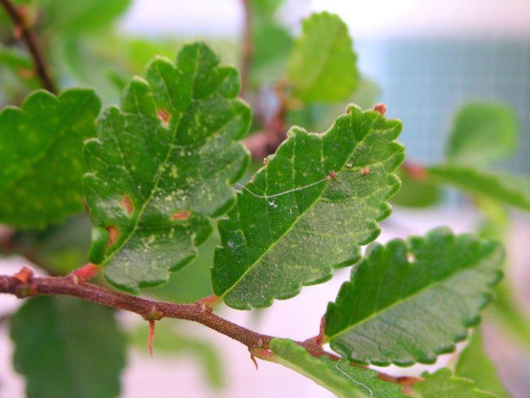Ragnetti rossi - parassiti delle piante - Ragnetti rossi parassiti