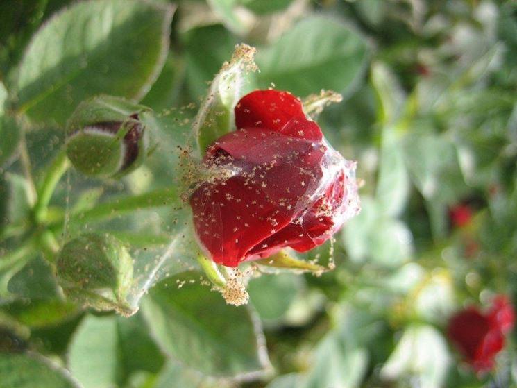 rosa colpita da <em>ragnetto</em> rosso