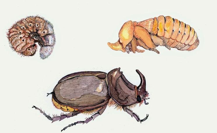 Ciclo vitale scarabeo