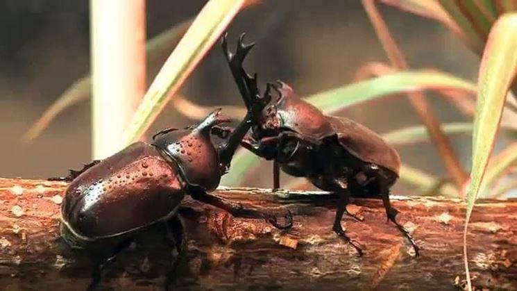 Scontro scarabei rinoceronte