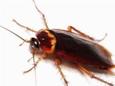 scarafaggio1