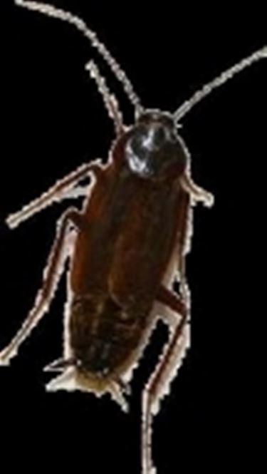 scarafaggio2