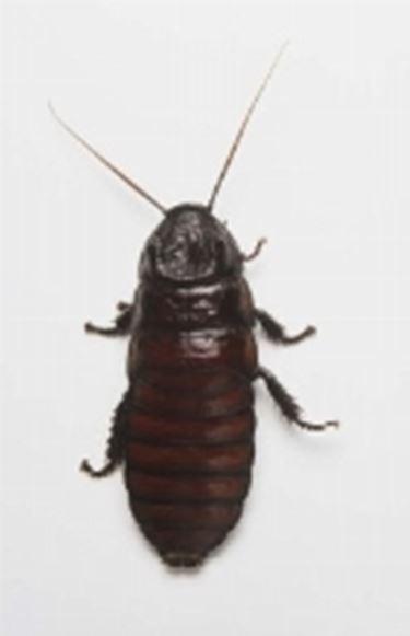 scarafaggio4