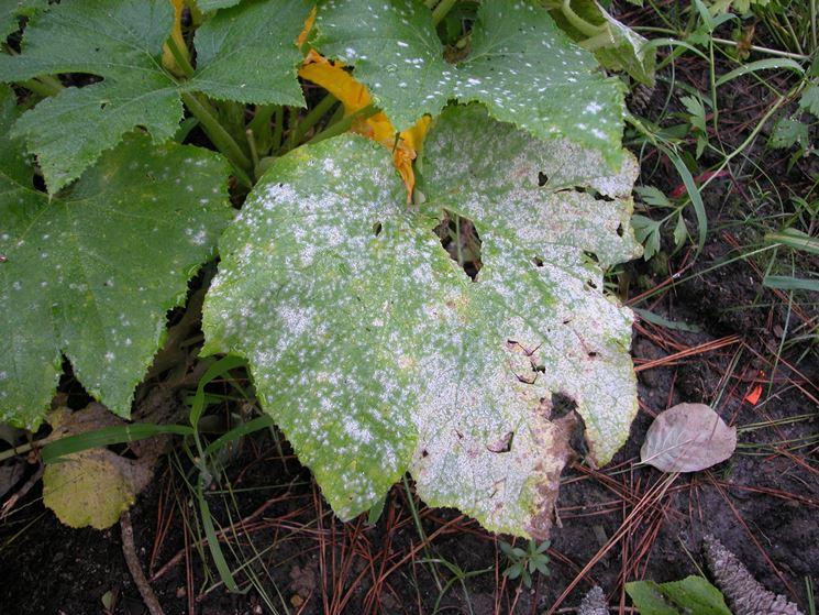 Foglie di zucchine colpite dall'oidio