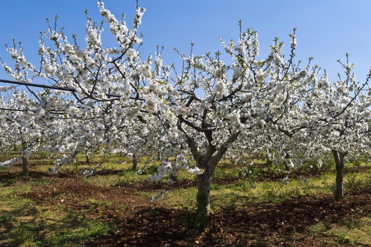 Ciliegio potatura potatura come potare il ciliegio - Ciliegio da giardino ...
