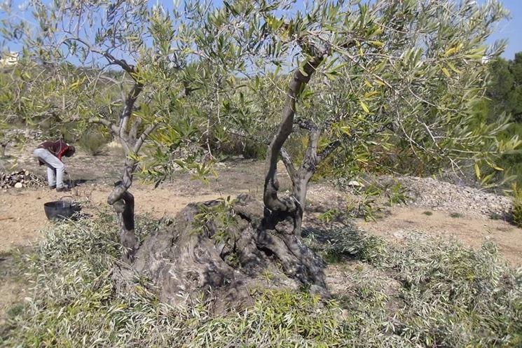 Chioma ulivi
