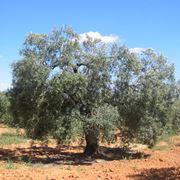 Come potare gli ulivi potatura potatura ulivo for Potatura limone periodo