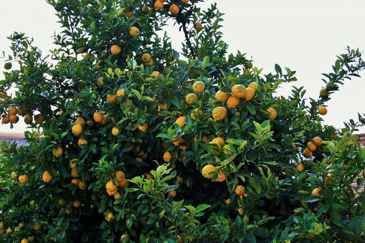 Come potare il limone potatura potare pianta limone for Potatura limoni in vaso