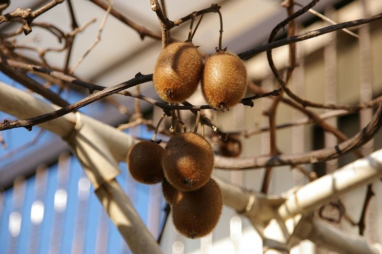 Efettuare potatura kiwi potatura potare pianta kiwi for Pianta kiwi prezzo