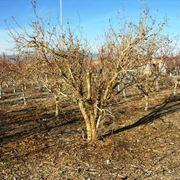 Potatura melograno albero