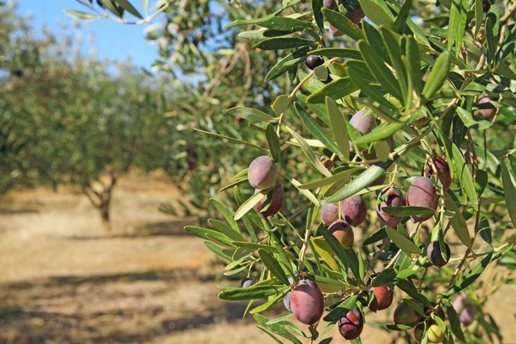 Olive pianta