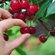 come potare il ciliegio
