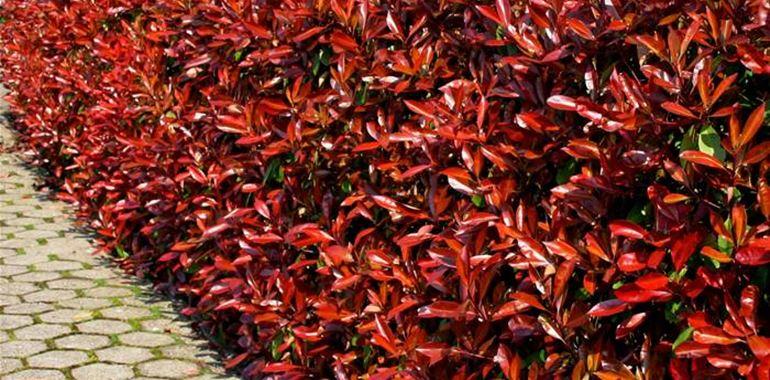 <h6>photinia potatura </h6>Approfondimento dedicato agli obiettivi e alle tecniche di potatura di una splendida pianta ornamentale usata per creare le siepi: la photinia