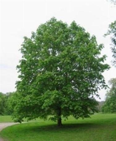 Potare alberi potatura consigli per potare gli alberi - Foto di alberi da giardino ...