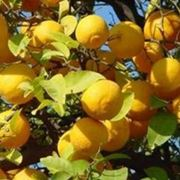 Limoni raccolto