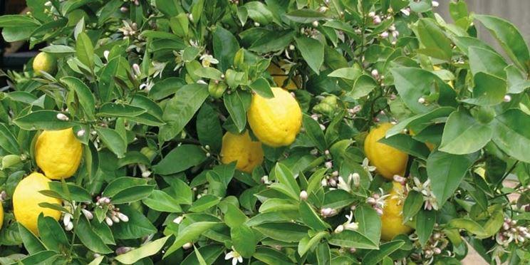 Potare limone potatura potatura limone for Periodo potatura limone