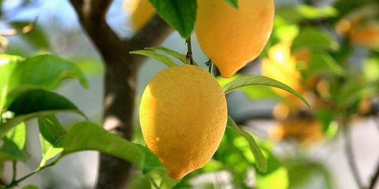 Frutti albero limone