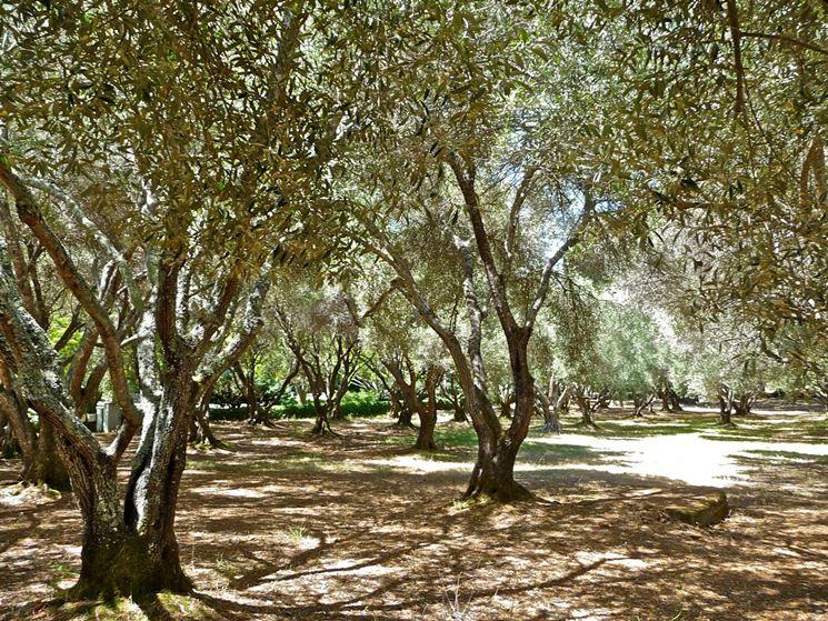 Olivi potatura