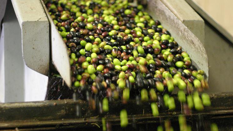 Pianta olive