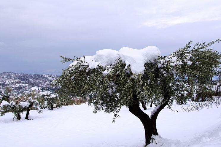 Olivi foglie