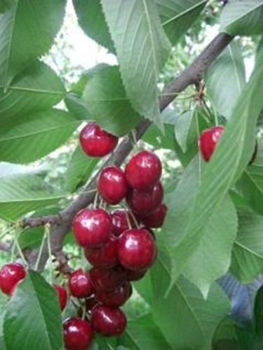 Potare piante potatura guida alla potatura delle piante for Acquisto piante