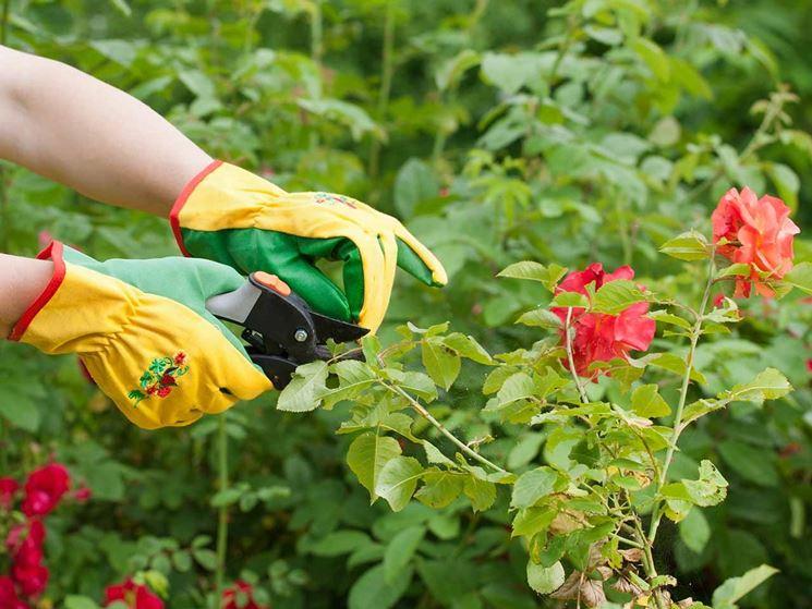 Potare rose potatura consigli per la potatura delle rose for Potare le rose