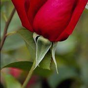 potare rose vecchie