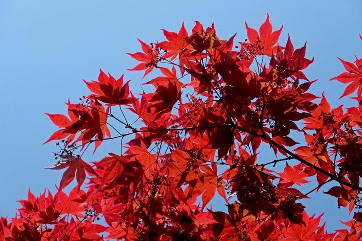 Potatura acero potatura quando potare l 39 acero for Acero rosso canadese prezzo