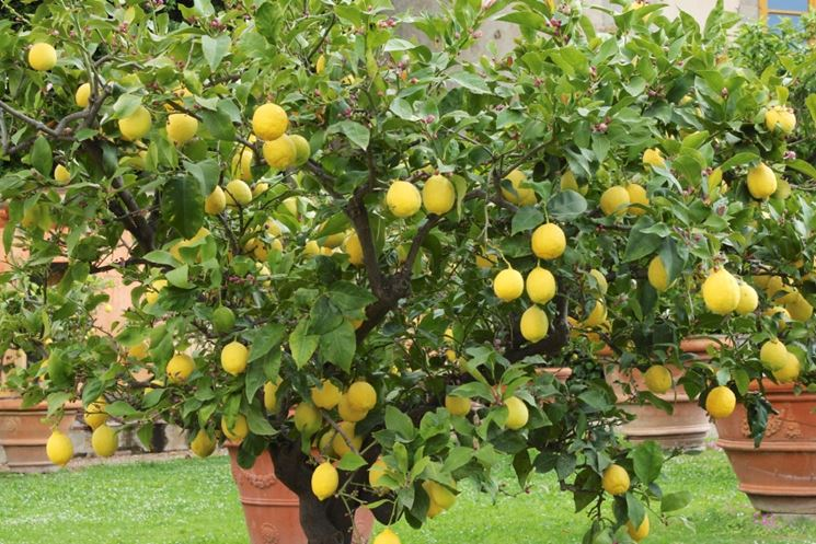 Potatura agrumi periodo potatura quando potare agrumi for Pianta di limone