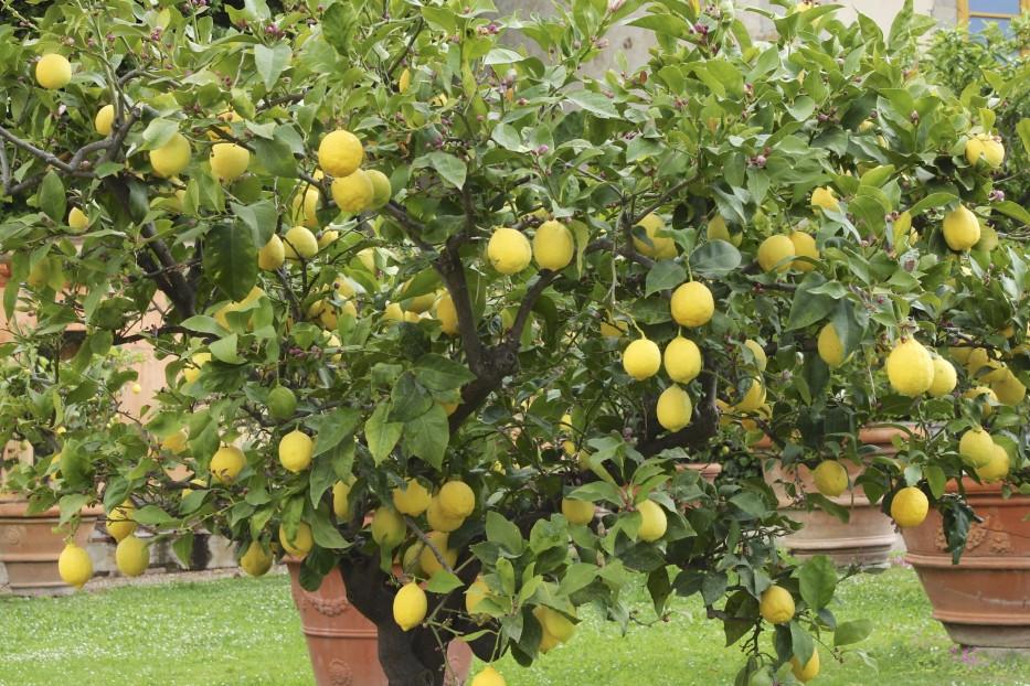 Potatura agrumi periodo potatura potare agrumi for Potatura limone periodo