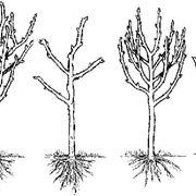 Potatura alberi frutto potatura for Quando piantare alberi da frutto