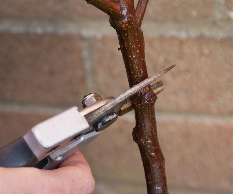 taglio ramo albicocco