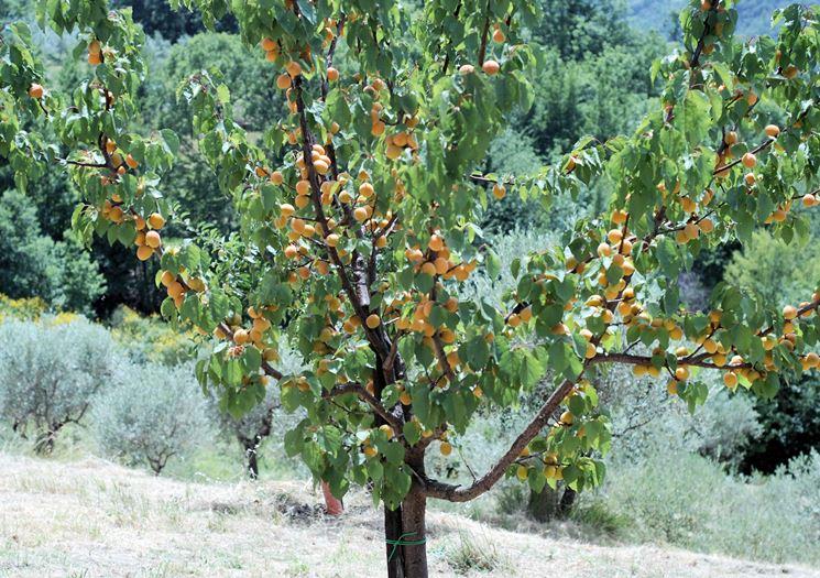 pianta di albicocche