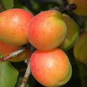 Potatura albicocco potatura come potare albicocco for Quando piantare alberi da frutto