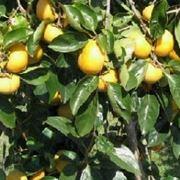 quando potare alberi da frutto