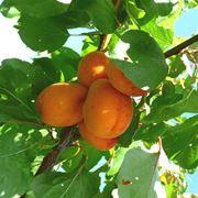 Potatura albicocco potatura come potare albicocco for Potatura limone periodo