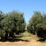 potatura olivo ad ombrello