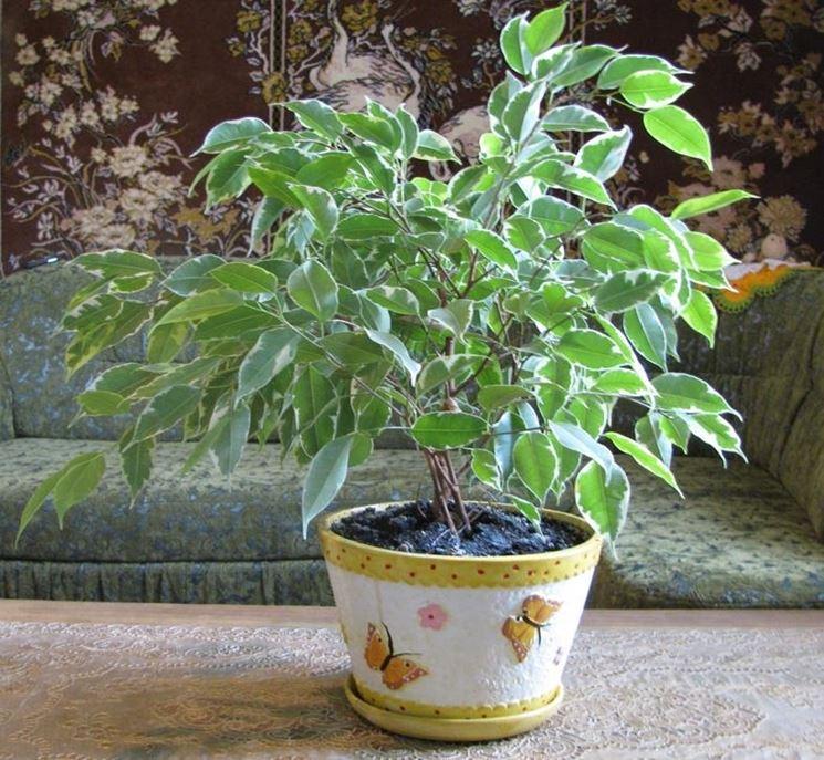 piccola pianta ficus benjamin
