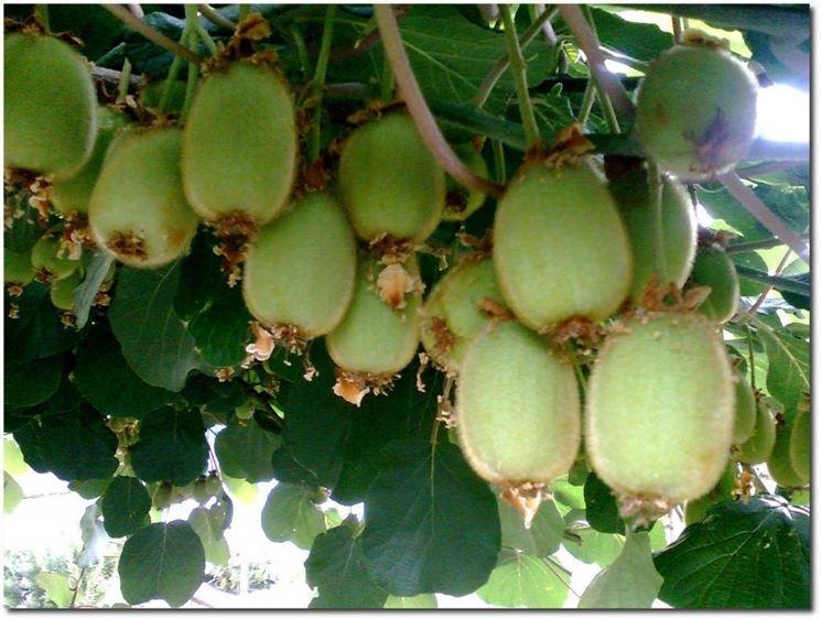 Potatura kiwi potatura for Pianta kiwi prezzo