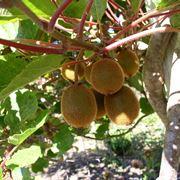 potatura del kiwi