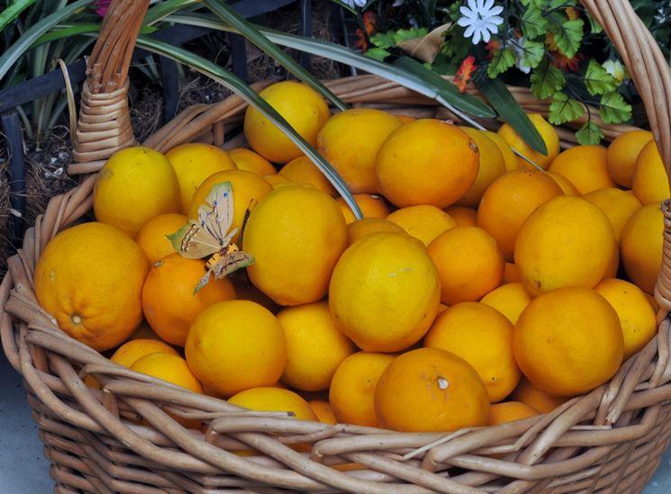 Potatura limone potatura potare limone for Potatura limoni in vaso