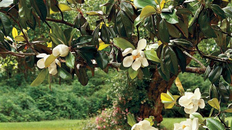 magnolia pianta