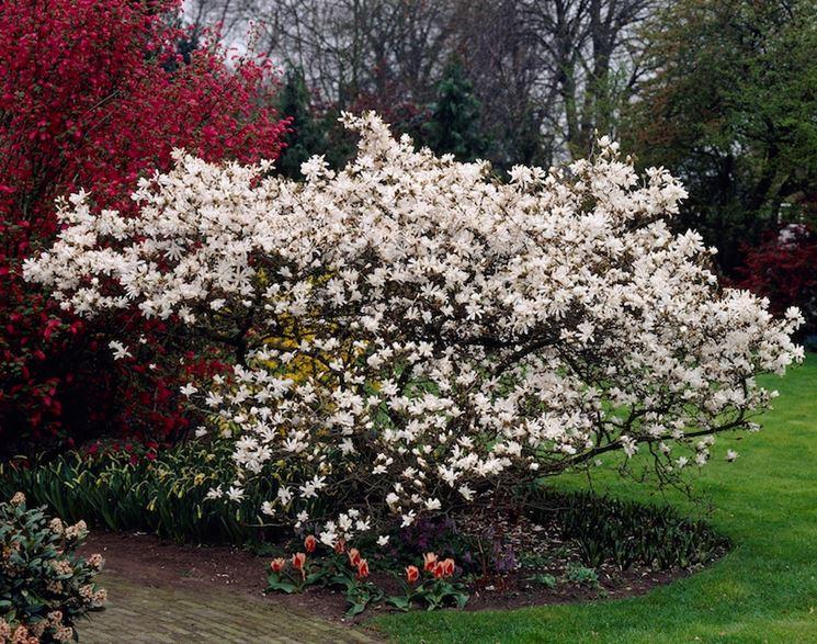 potare magnolia