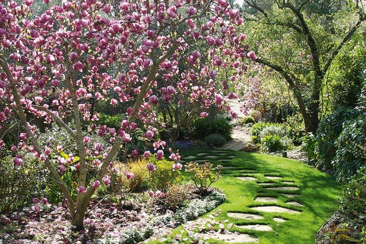 pianta magnolia